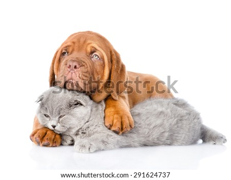 Bordeaux puppy embracing sleeping cat. isolated on white background