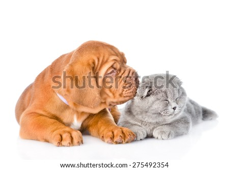 Bordeaux puppy kisses cat. isolated on white background