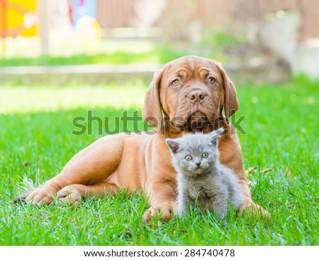Bordeaux puppy lying with a kitten on the green grass - stock photo