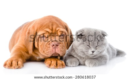 Bordeaux puppy lying with scottish cat. isolated on white background