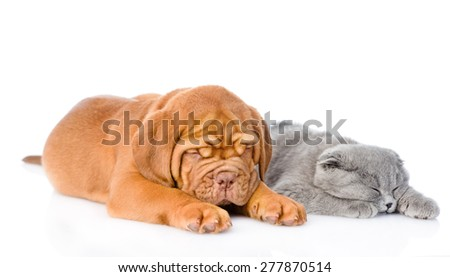 Bordeaux puppy sleep with gray cat. isolated on white background