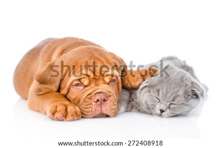 Bordeaux puppy sleep with scottish cat. isolated on white background - stock photo
