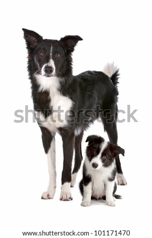 Border collie adult and puppy in front of a white background - stock photo