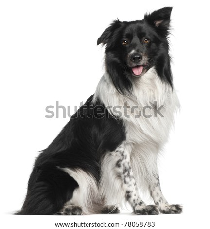 Border Collie, 3 and a half years old, sitting in front of white background - stock photo