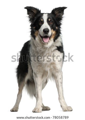 Border Collie, 5 and a half years old, standing in front of white background - stock photo