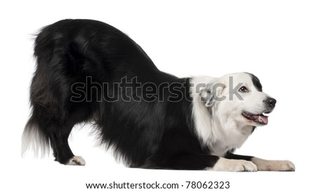 Border Collie, 8 and a half years old, stretching in front of white background - stock photo