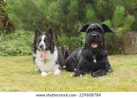 Border Collie and Big Black Schnauzer Dog outdoors