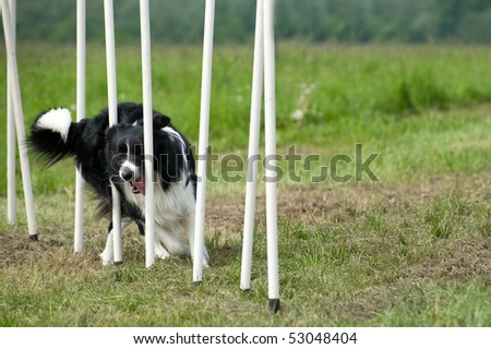 border collie at agility course - stock photo