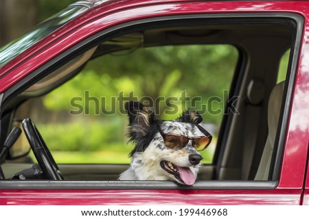 Border collie / Australian Shepherd dog in car with sunglasses looking happy ready expectant cute adorable hot friendly