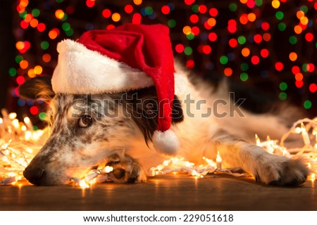 Border collie Australian shepherd dog lying down on white Christmas lights with colorful bokeh sparkling lights in background looking hopeful wishful believing celebratory concerned doubtful guilty - stock photo