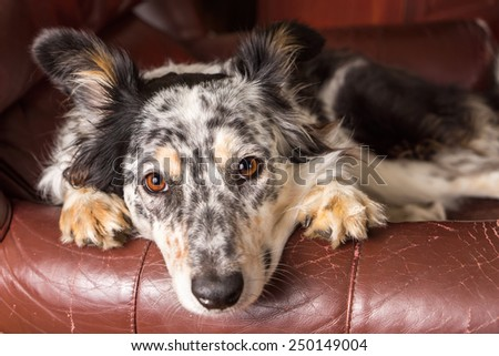 Border collie/ Australian shepherd dog on brown leather couch armchair looking at camera happy comfortable lounging on furniture waiting watching patient cute uncertain with paws next to face - stock photo
