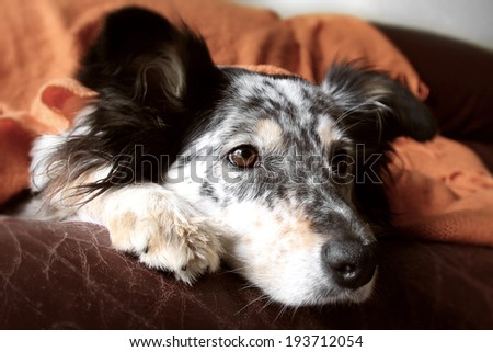 Border collie / australian shepherd dog on couch with blanket looking curious cute expectant happy focused adorable alone - stock photo