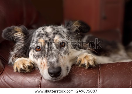 Border collie/ Australian shepherd dog on leather couch armchair looking sad bored lonely sick depressed melancholy sleepy tired worn out exhausted in recovery pleading