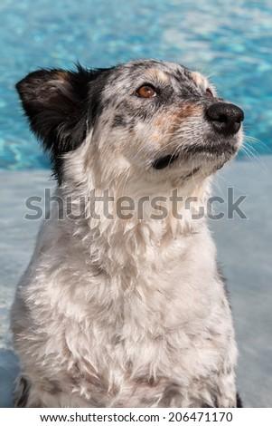 Border collie / Australian shepherd dog sitting in pool wet water looking afraid fearful hopeful wistful obedient guilty - stock photo