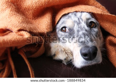 Border collie / australian shepherd dog under blanket on couch looking sad hopeful lonely bored cute at window - stock photo