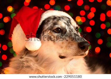 Border collie Australian shepherd mix dog closeup wearing santa hat with bokeh Christmas lights in background looking regal wise statuesque watching waiting patient