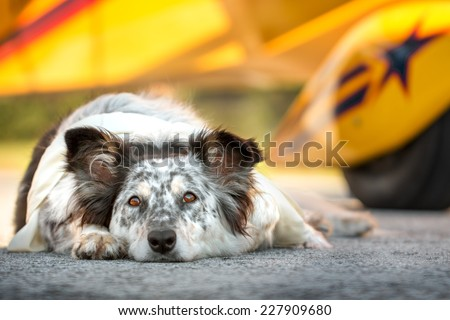 Border collie australian shepherd mix dog lying down on runway in front of plane ears half alert wearing white scarf looking alert curious watching waiting listening expectant hopeful excited - stock photo