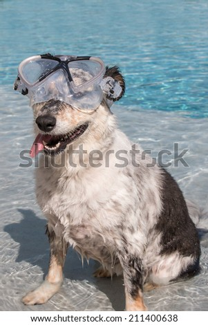 Border collie / Australian shepherd mix wearing goggles in blue pool with tongue hanging out - stock photo
