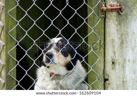 Border Collie behind a fence of a kennel. - stock photo