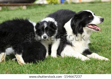 Border collie bitch with puppies in the garden