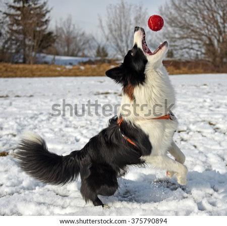 Border collie catches the ball in the air - stock photo