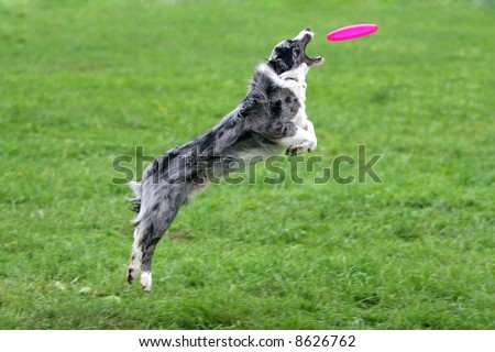 Border collie catching a frisbee in air - stock photo