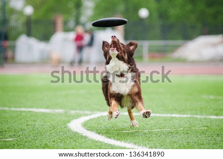border collie catching disc in jump in competitions - stock photo