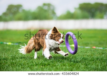Border Collie chasing a puller toy - stock photo