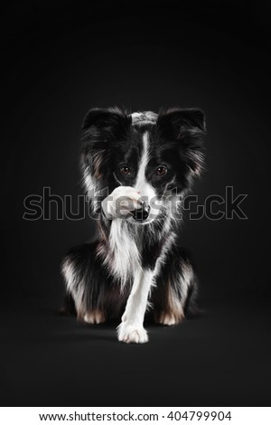 Border Collie covers his nose with his paw