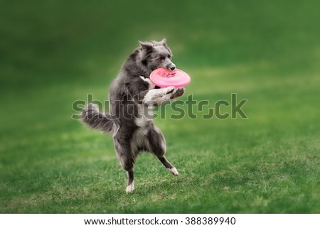 Border collie dog catching frisbee in jump in summer day - stock photo