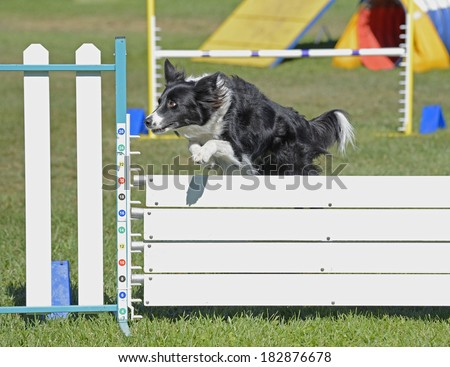 Border Collie Dog Jumping Agility Fence - stock photo