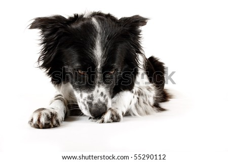 border collie dog licks paw clean against white background