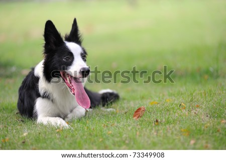 Border collie dog lying on the lawn - stock photo