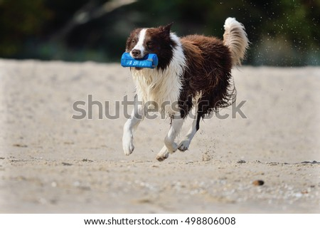 Border Collie Dog on sea in happiness retrieving flying