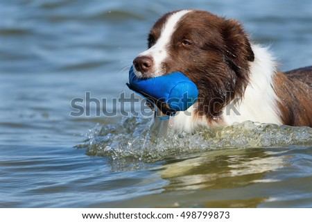 Border Collie Dog on sea retrieving swimming in ocean waves