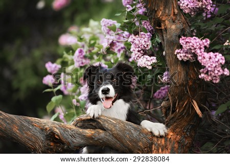Border Collie dog performs the trick in a lavender garden - stock photo
