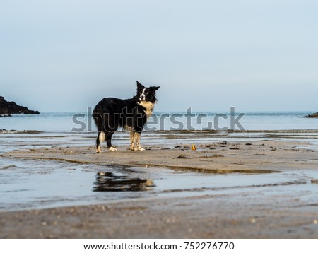 Border Collie Dog playing on a Beach