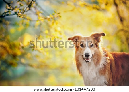 Border collie dog portrait on the spring sunshine background - stock photo
