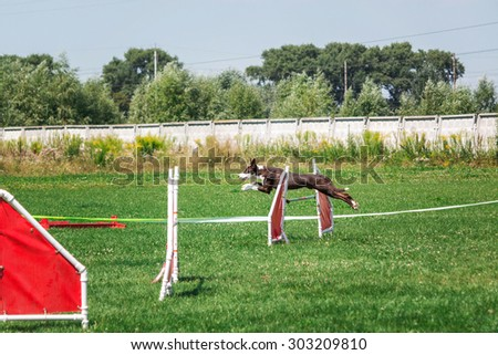 Border collie dog running in agility - stock photo