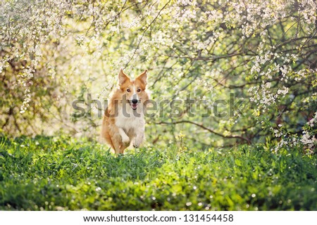 border collie dog running on a background of white flowers in spring - stock photo