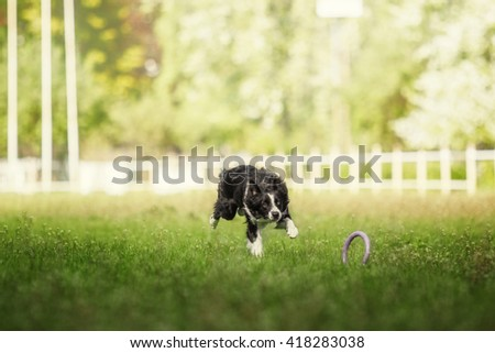 Border Collie dog running on spring blooming background - stock photo