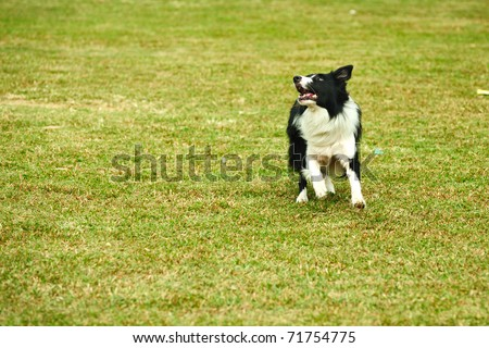Border collie dog running on the lawn - stock photo