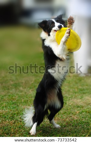 Border collie dog standing and holding a dish in mouth - stock photo