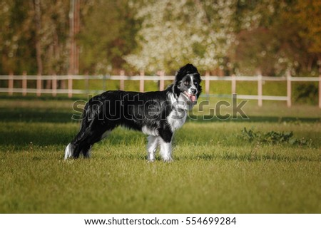 Border collie dog standing on green grass