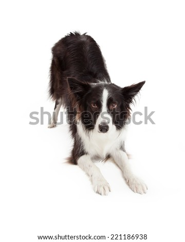 Border Collie dog taking a bow in a downward facing dog position while looking forward at the camera - stock photo