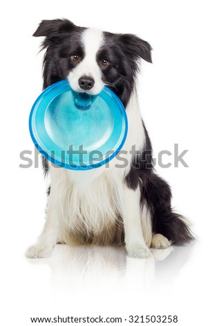 Border Collie Dog With Frisbee Disc - stock photo