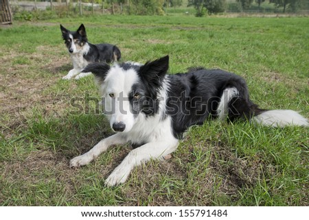 Border Collie dogs outside in a garden on the grass waiting