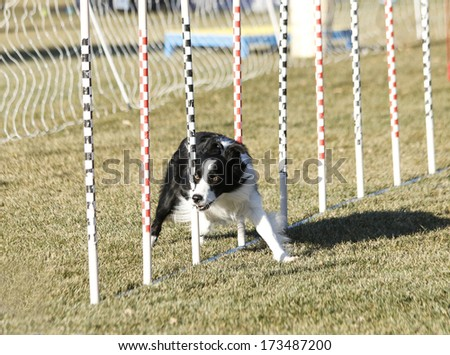Border collie going through the weave practicing for agility - stock photo