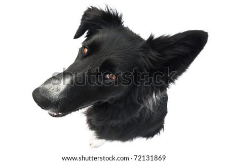 border collie goofy head - stock photo