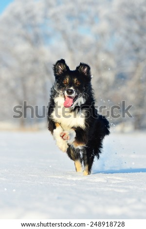 Border collie have fun in winter - stock photo